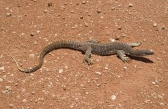 Goanna. A sand goanna in the middle of a dirt road in outback NSW, Australia Royalty Free Stock Image