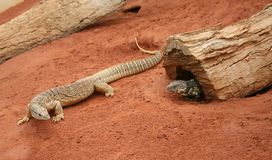 Goanna & Skink. A sand monitor Goanna lizard and a Skink.  Reptiles found in the desert of Australia Royalty Free Stock Images