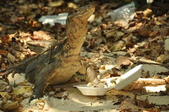 Goanna in Thailand. Varan searching for a food Stock Image