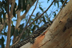 Goanna Tongue Stock Photo
