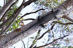 Goanna. On the tree in the Dharawal National Park, Australia Stock Photos