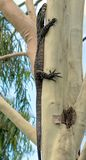 Goanna up our Gum Tree Stock Photos