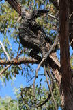Goanna up a tree Stock Photo