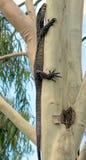 Goanna w górę nasz Gumowego drzewa Zdjęcia Stock