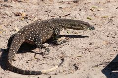 Goanna in the wild royalty free stock image