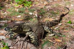 Goanna in the wild Stock Image