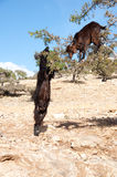 Goars on argan tree. Goats on argan tree in Morocco countryside Royalty Free Stock Image