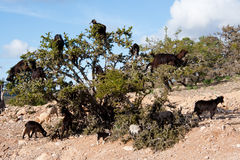 Goars on argan tree. Goats on argan tree in Morocco countryside Stock Photography