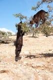 Goars na árvore do argão Imagem de Stock Royalty Free