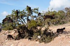 Goars op argan boom stock fotografie