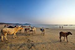 Goastrand Palolem India, stranden met heilige koekoeien Stock Fotografie