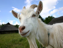 Goat. A goat, portrait Royalty Free Stock Photo