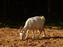 Goat 1. A plain farm goat on a pasture on a sunny day Royalty Free Stock Images