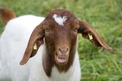 Goat 1 Royalty Free Stock Image