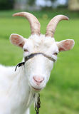 Goat. Picture of a goat portrait Royalty Free Stock Photos