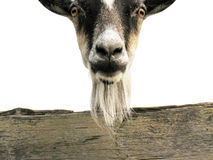 Goat. Portrait of a goat Royalty Free Stock Images
