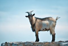 Goat. Male goat on a stone wall against a blue sky. Location country side in French Riviera Royalty Free Stock Photo