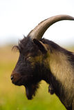 Goat. Grazzing brown goat in sunny day stock photography