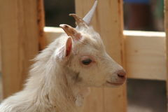 Goat. Portrait of Little Goat Royalty Free Stock Images