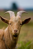 Goat. Grazing goat in sunny summer day royalty free stock photo