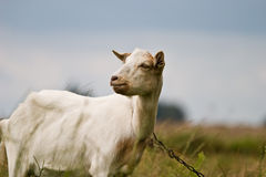 Goat. Grazing goat in sunny summer day royalty free stock image