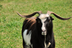 Goat. Close up with domestic goat feeding Stock Images