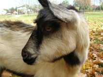 Goat. A portrait of femile goat on the meadow Stock Image