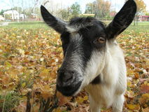 Goat. A potrait of female goat on the meadow Stock Photography