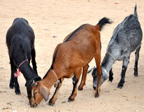Goat. Three goats are taken from dry soil Stock Images