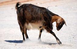 Free Goat Royalty Free Stock Photo - 11481565
