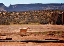 Goat. A goat in a desert farm Stock Photos
