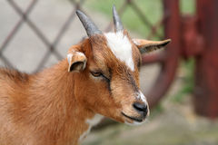 Goat. Miniature goat portrait Stock Photo