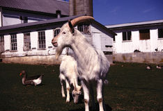 Free Goat Stock Images - 12750404