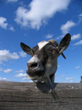 Goat. Head of a goat on a background of the cloudy sky Royalty Free Stock Image
