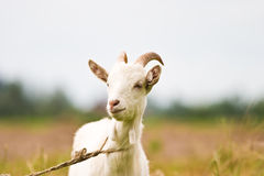 Goat. Standing on summer pasture with yellow flowers and green grass Royalty Free Stock Photography