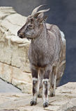 Goat. Young Markhor goat antelope standing on rocks Royalty Free Stock Photography