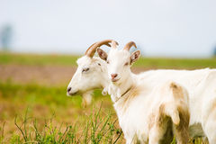 Goat. Standing on summer pasture with yellow flowers and green grass stock photography