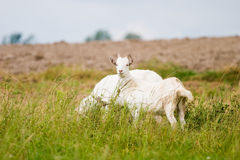 Goat. Standing on summer pasture with yellow flowers and green grass royalty free stock photos