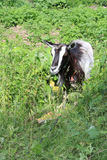 Goat. The young goat grazes on meadow stock photography
