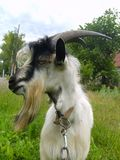 Goat-she Royalty Free Stock Images