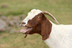 Goat. African goat with mouth open Royalty Free Stock Photo