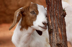 Goat. A little goat behind a tree royalty free stock photo
