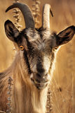 Goat. Portret in a field at sunset royalty free stock photos