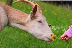 Goat. And baby hand with flower Royalty Free Stock Photo