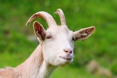 Goat Royalty Free Stock Image