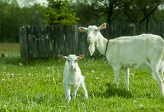 Goat. A goat with young goat Stock Images