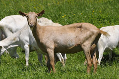 Goat. Brown goat is standing in a white herd of goats Royalty Free Stock Image