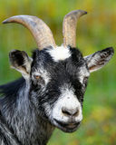Goat. A black and white goat on a farm Royalty Free Stock Image