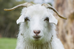 Goat. Closeup of an angora goat, portrait Stock Photos