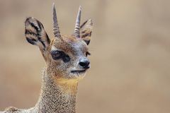 Goat. A picture of a small african goat Royalty Free Stock Image